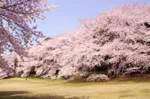 光が丘 桜